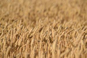 Brotmanufaktur Kleinbauer: Weizen